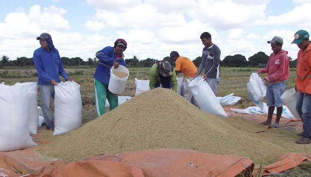 Safra verão de arroz do Perímetro Irrigado do Itiúba aumenta em produção e produtividade