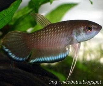 Jenis Ikan Cupang Spesies Betta Breviobesus