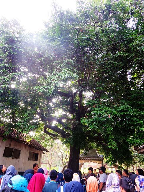 Pohon Kleco yang Langka