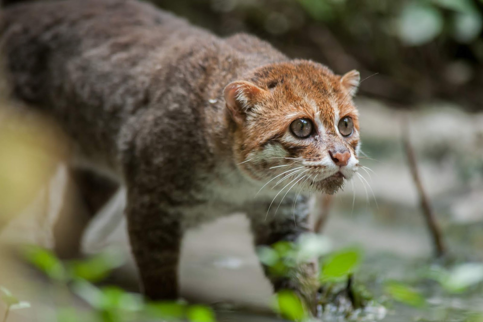 Get to Know the Famous Types of Wildcat in the World