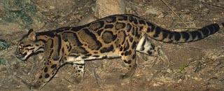 Pantera longibanda