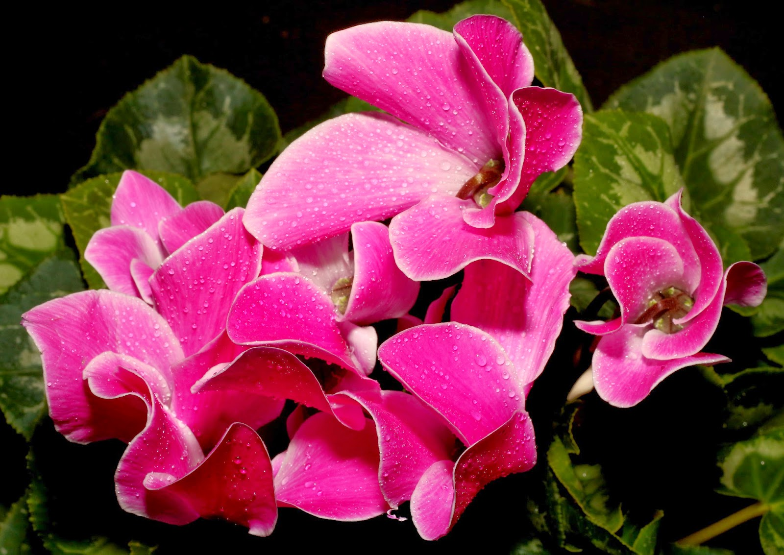 Cyclamen Flower Photo Project: With Canon EOS 70D and EF 50mm f/1.8 II Lens Photo: © Vernon Chalmers