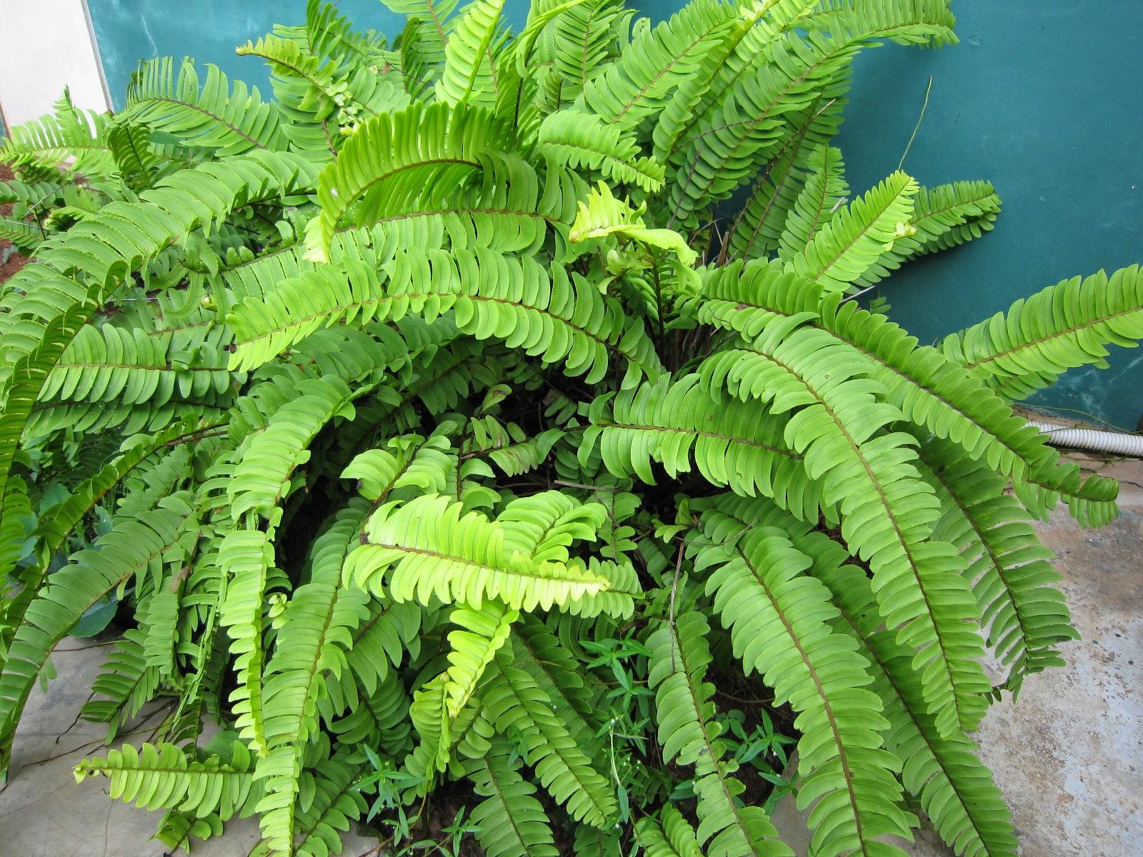 Jual tanaman paku untuk hiasan taman | kadaka | tanduk rusa | suplir | sirih kelabang | aneka tanaman | suplier tanaman