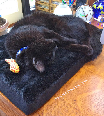 Troy the cat on his bed