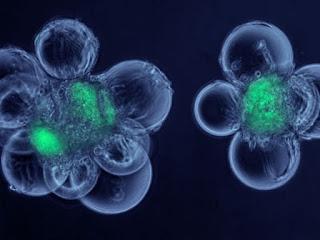 Cloni umani: ecco il primo blastocisti