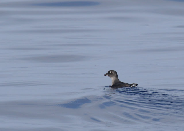 Good looks at a Cassin's Auklet