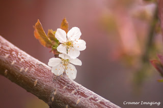 Cramer Imaging's professional quality nature photograph of two white cherry blossoms on a branch in Pocatello, Bannock, Idaho