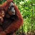 Orangután pide ayuda en lengua de signos a una niña