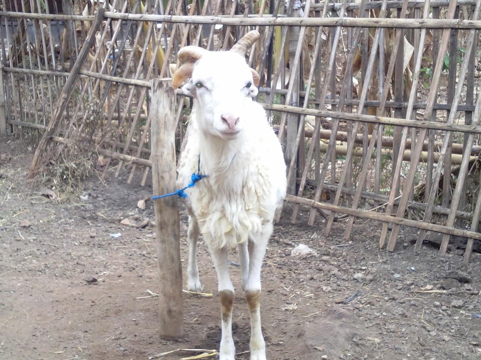 Aqiqah Dan Qurban Murah Mudah Hanya Di Sini Domba Unik Indramayu