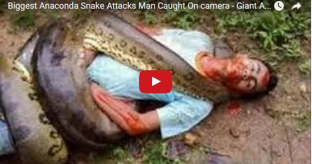 Biggest Anaconda Snake Attacks Man Caught On Camera Amazing News Worlds