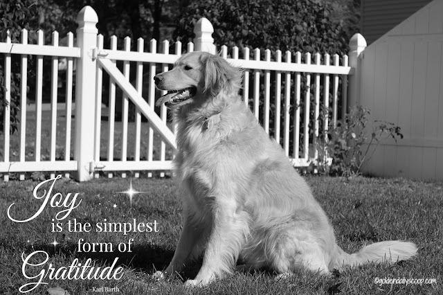 golden retriever dog sitting in yard #blackandwhiteSunday