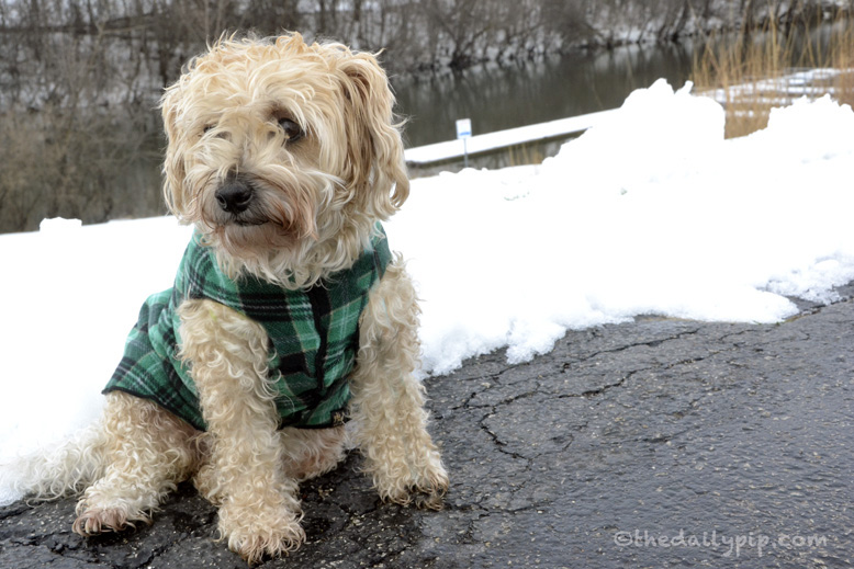 Ruby, the rescued yorkie-poo takes a walk by the snow Chicago River on wordless wednesday