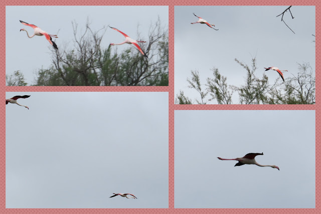 Camargue Flamingos in flight