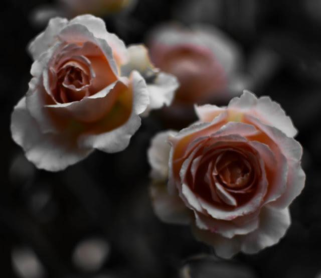 rose, fleurs, flowers, château, château de versailles, versailles, jardin, jardins du château de versailles