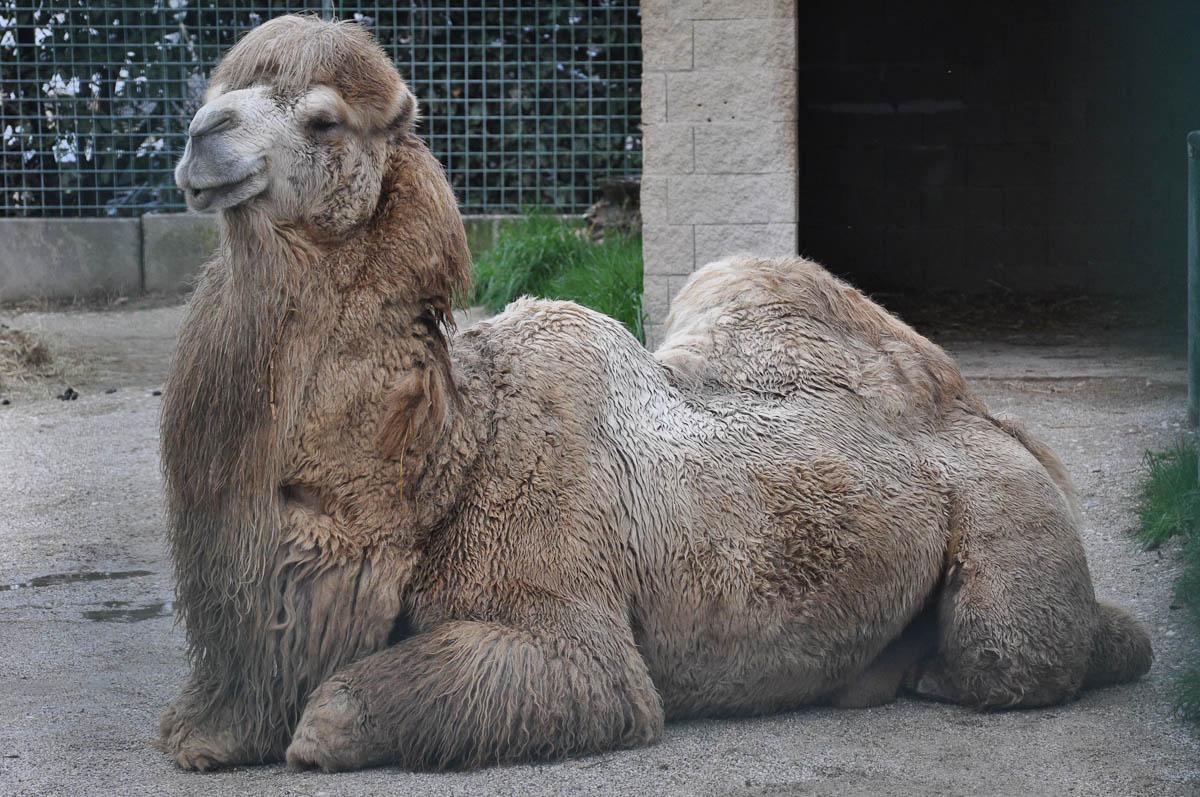 Camel, Parco Faunistico Cappeller, Nove, Veneto, Italy