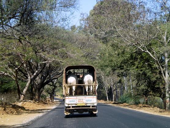 Animals on truck