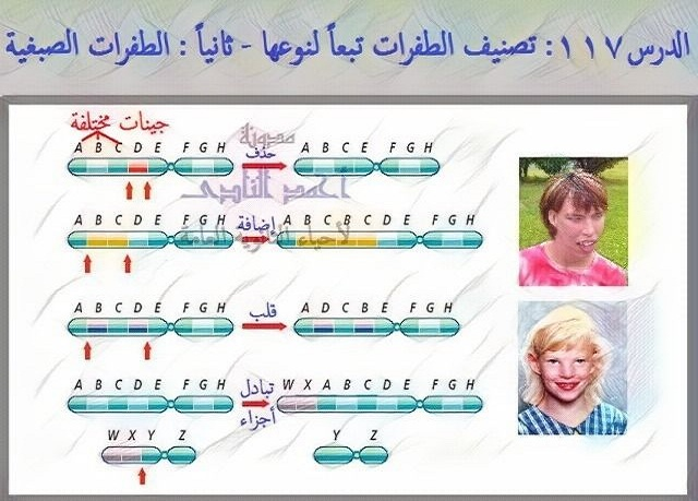 تصنيف الطفرات تبعاً لنوعها - ثانياً  الطفرات الصبغية - التغير فى تركيب الصبغيات -الثالث الثانوى