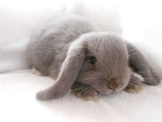 Adorable fluffy brown bunny with floppy ears