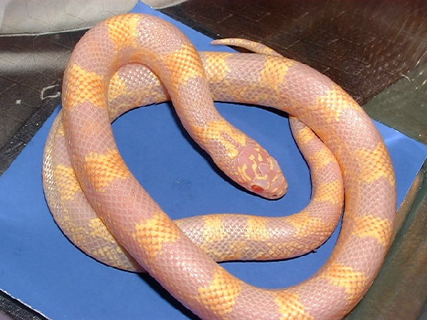 Tattoo Designs Hd Wallpapers Snakes Albino King Snake