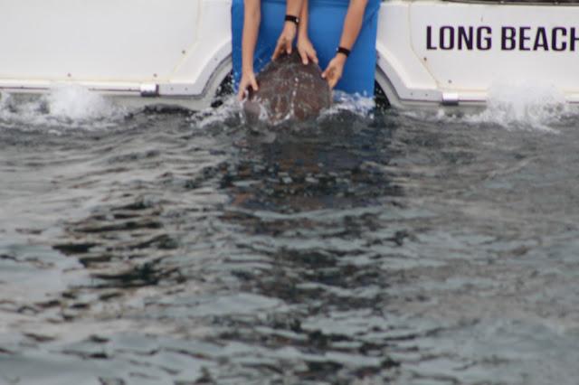 Rehabilitated Sea Turtle Goes Back to Sea