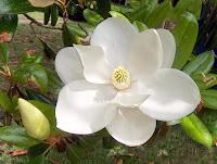 Yakından beyaz manolya çiçeği görüntüsü