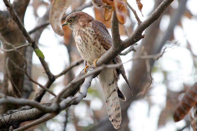 Common hawk-cuckoo(34cm) - Bengaluru