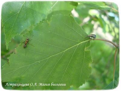 береза, магия биологии, муравей, долгоносик грушевый, лист березы