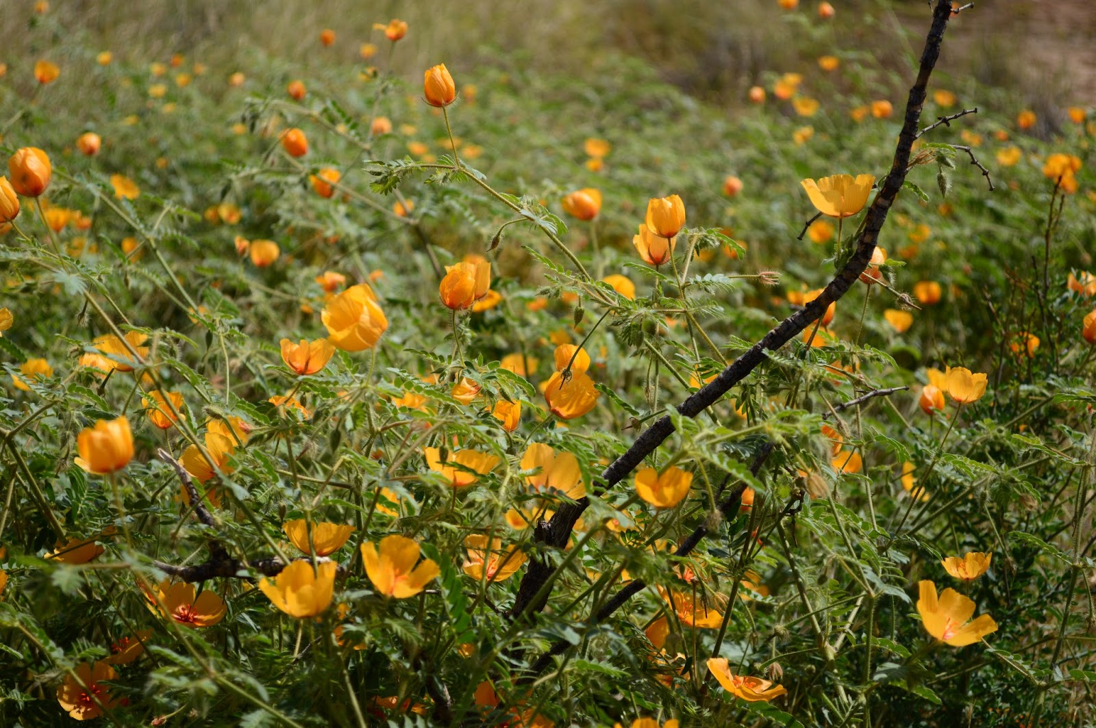 Desert Poppies, Kallstroemia grandiflora, wildflower, desert wildflower, yellow wildflower