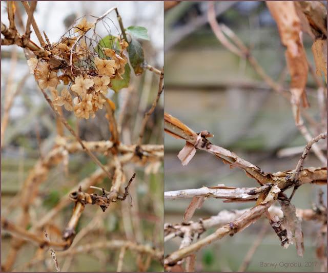 hortensja dębolistna zimą