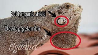 gambar perbedaan iguana dan bunglon