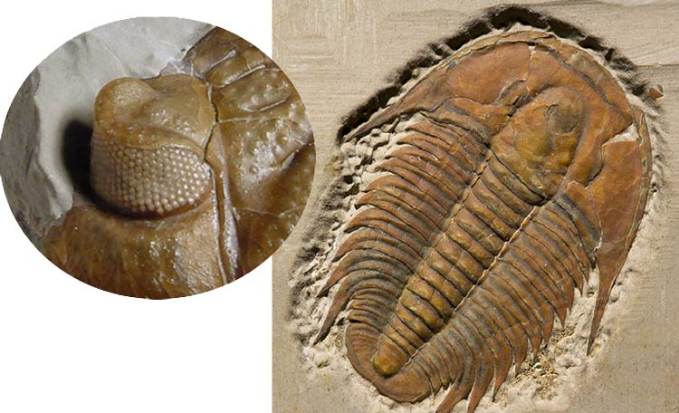 Trilobit fosili ile ilgili görsel sonucu