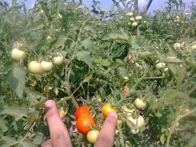 Tanaman Tomat Berbuah Maksimal dengan Sistem Penyiangan Teratur