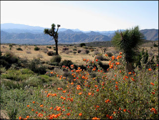 Yucca Valley,CA,California,Mojave,desert,flowers,wildflowers,mallow,hills,mountains,Joshua tree