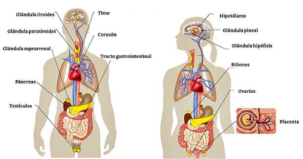 Glándulas del sistema endocrino y sus hormonas