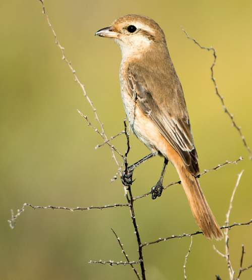 Birds of India - Photo of Isabelline shrike - Lanius isabellinus