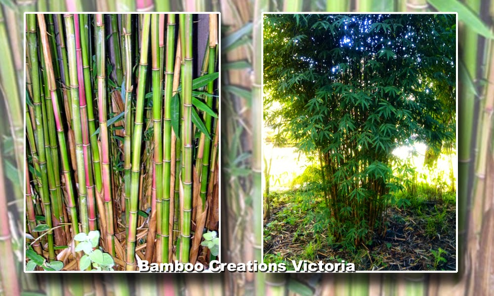 Candy cane bamboo from Bamboo Creations victoria