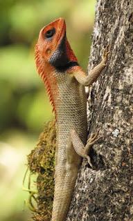 Calotes versicolor, Oriental Garden Lizard