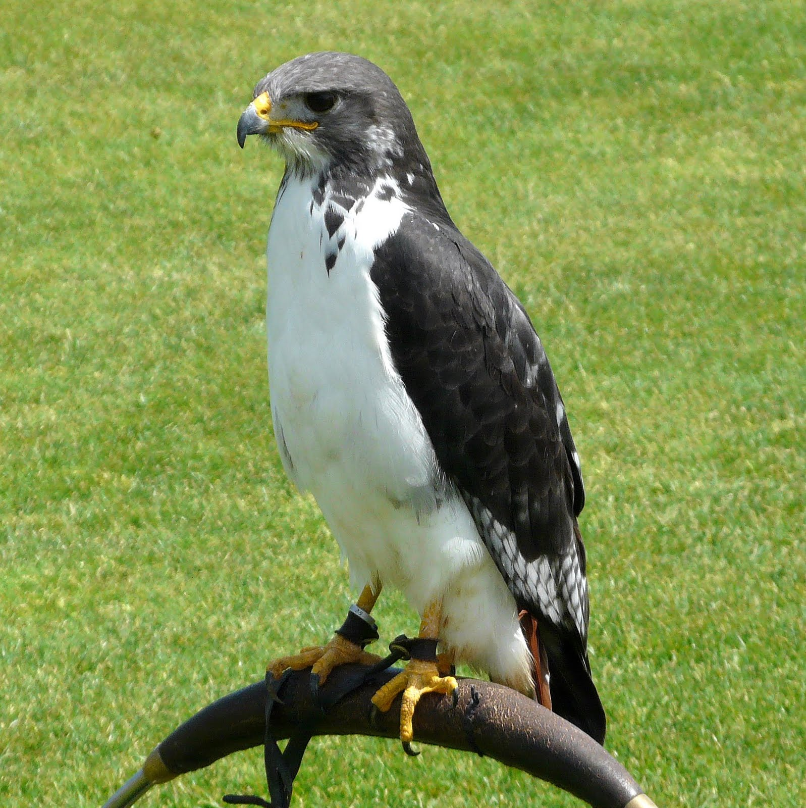 """""""Falcons"""" At The Montage In Laguana Beach- New Jersey Bird"""