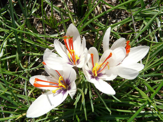 Origin of the saffron crocus traced back to Greece