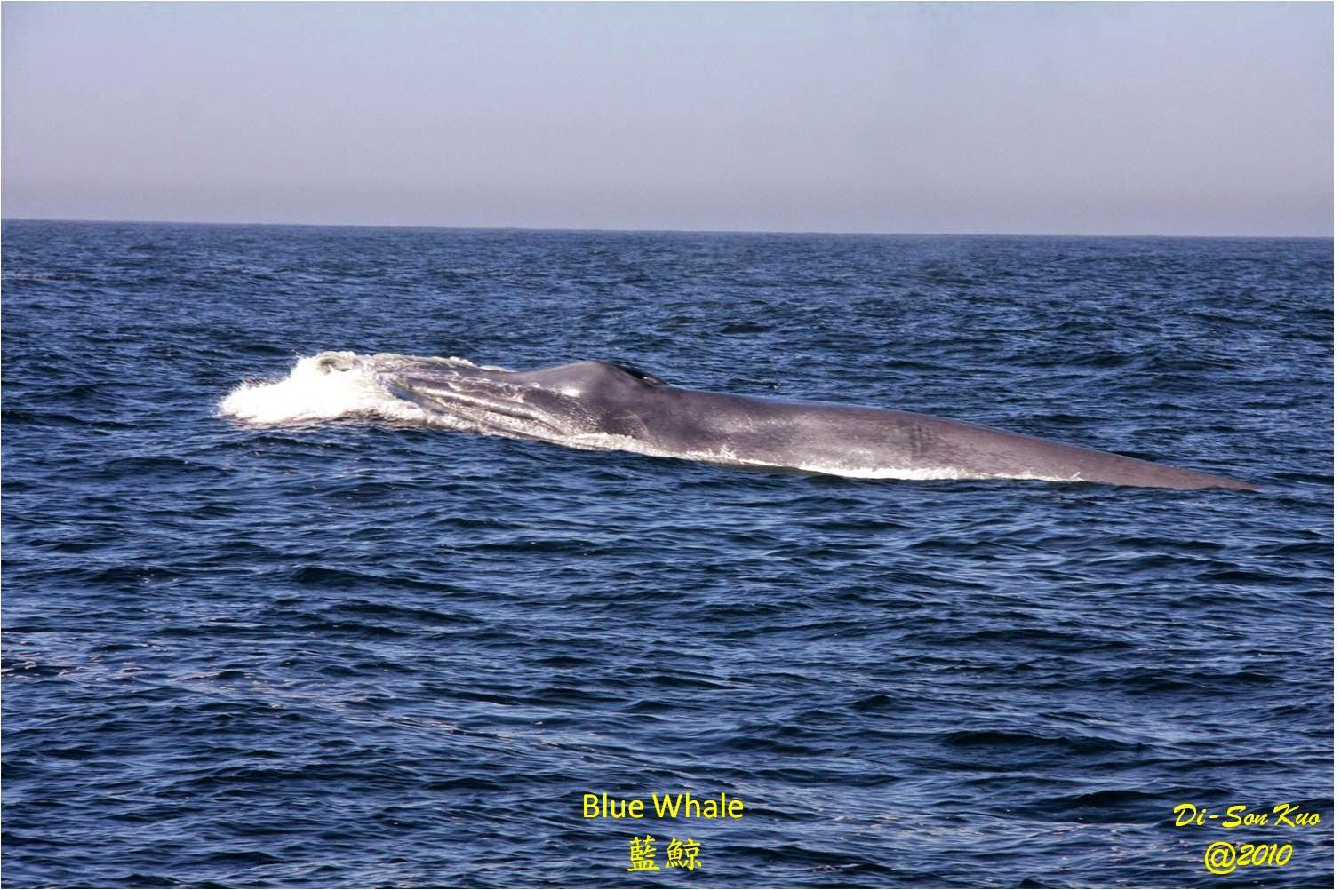 行雲隨筆: 舊金山附近的鯨魚和海豚 (三)