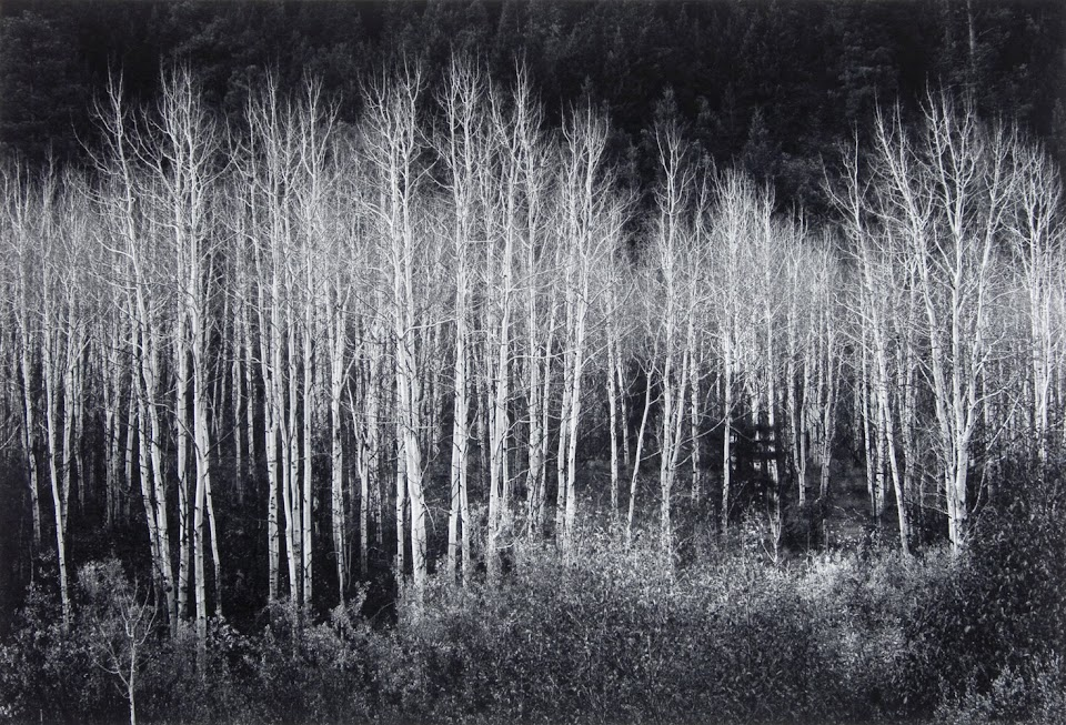 Aspens by Ansel Adams