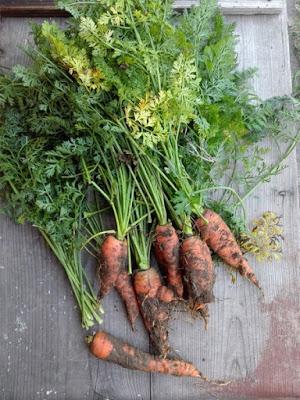 Orto di novembre: raccolto di carote