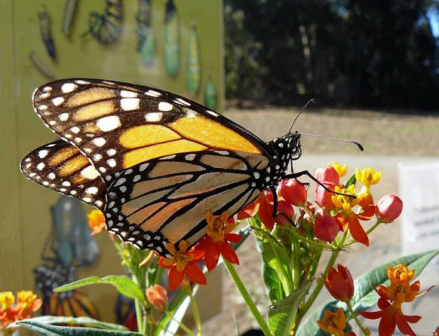 a picture of Butterfly on a flower at Pismo Beach