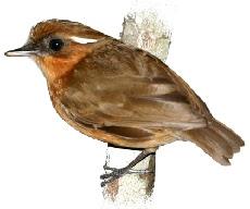 Pássaro Chupa-Dente (Conopophaga lineata)