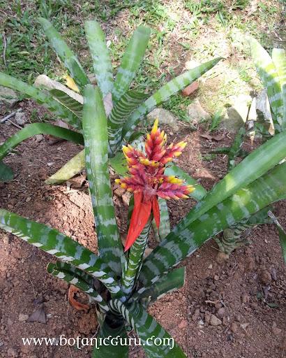 Aechmea chantinii leaves