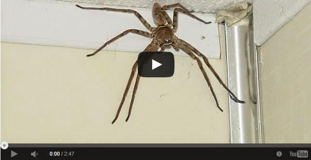 Worlds Largest Spider Ever Found