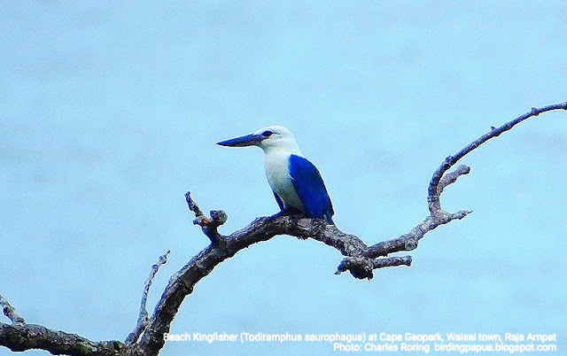 Beach Kingfisher in Waigeo island