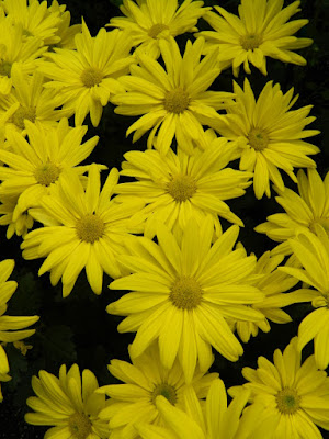 Yellow single chrysanthemums at 2016 Allan Gardens Conservatory  Fall Chrysanthemum Show by garden muses-not another Toronto gardening blog