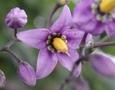 Uvas del diablo (Solanum dulcamara) con flores moradas