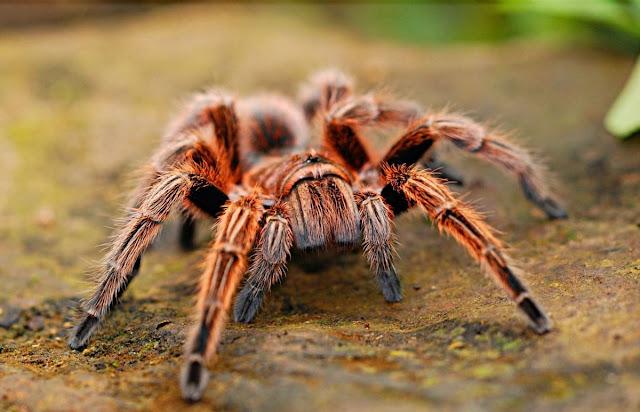 Veneno de araña, eficaz para tratar un tipo de epilepsia infantil